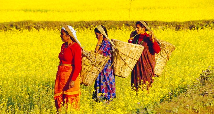 Peasant women carrying harvest in woven baskets in mustard fields, Sauhara. Royal Chitwan National Park, the Terai, Nepal